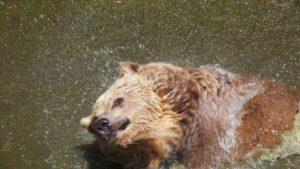 Bär beim Bad